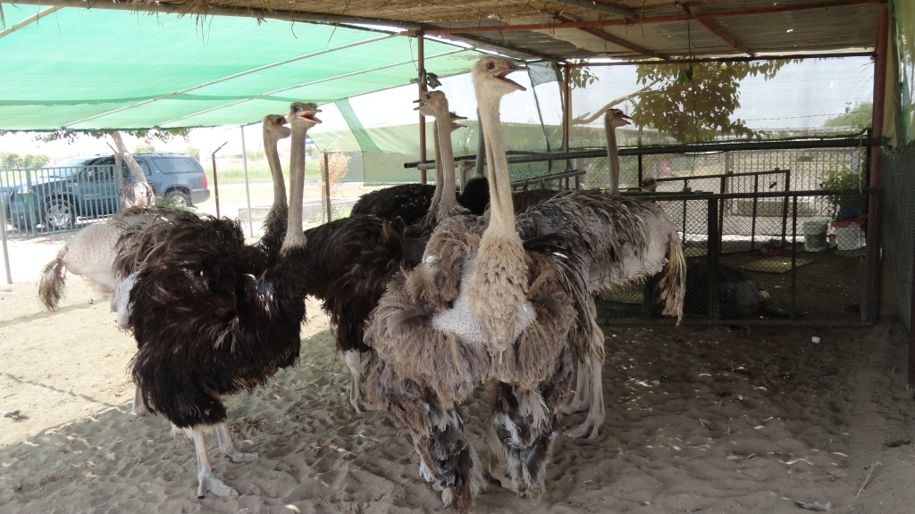 Day11:Indelible Sojourn to Ostrich park,Nakhal Fort,Sawadi beach,Al Sahwa Park and Hot Water Spring